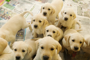 labrador-retriever-puppies